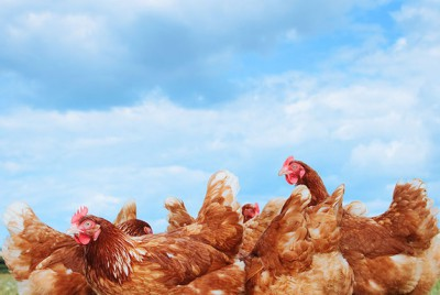 chicken banner mold