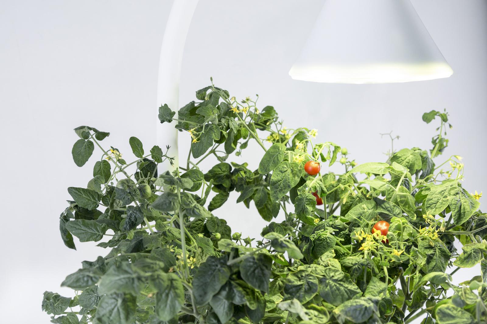 sproutsio_kickstarter-tomato