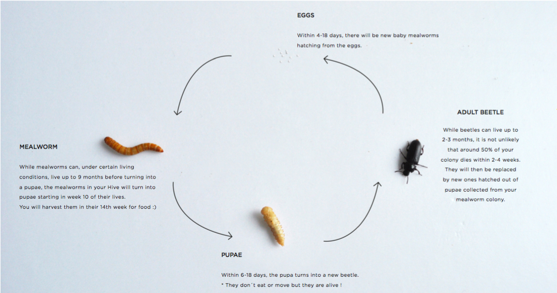 hive-mealworm-manual-lifecycle